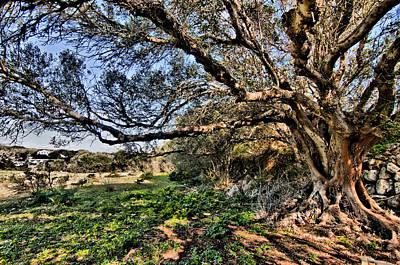 Photograph - Centennial Tree In Cornia By Pedro Cardona by Pedro Cardona