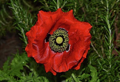 Photograph - Centerpiece - Red Poppy 010 by George Bostian