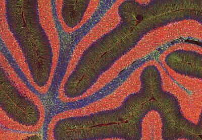Cerebellum Structure, Light Micrograph Art Print by Thomas Deerinck, Ncmir