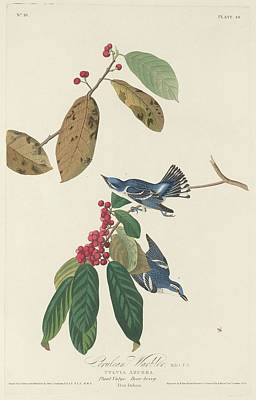 Wings Drawing - Cerulean Warbler by Dreyer Wildlife Print Collections
