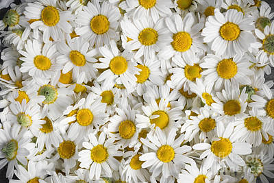 Daisy Photograph - Chamomile Flowers by Elena Elisseeva