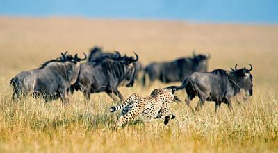 Of Felines Photograph - Cheetah Acinonyx Jubatus Chasing by Panoramic Images