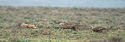 Cheetah Acinonyx Jubatus Hunting Art Print by Panoramic Images
