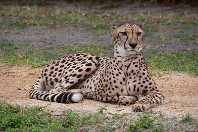 Photograph - Cheetah by John Black