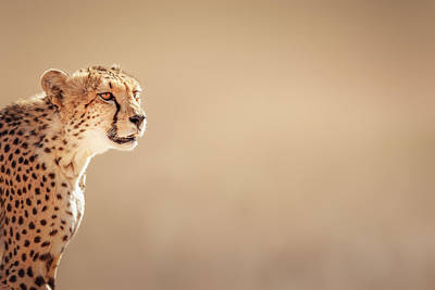 Side View Photograph - Cheetah Portrait by Johan Swanepoel