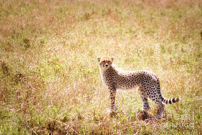 Photograph - Cheetha Cub by Bruce Block
