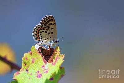 Photograph - Chequered Blue Butterfly - Scolitantides Orion by Jivko Nakev
