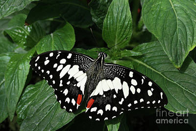 Blue Photograph - Chequered Swallowtail Butterfly #2 by Judy Whitton