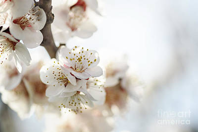 Cherry Blossoms Photograph - Cherry Blossom by Jelena Jovanovic