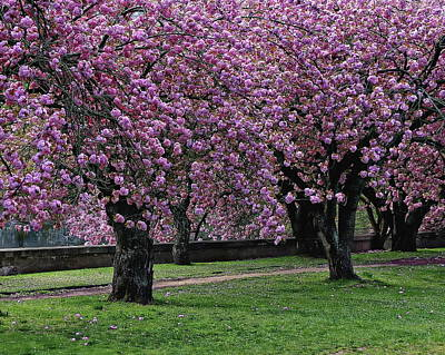Photograph - Cherry Blossom Trees by Anthony Dezenzio