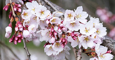 Photograph - Cherry Blossoms by Cathy Donohoue