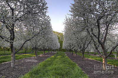 Cherry Blossom Festival Photograph - Cherry Blossoms In Traverse City by Twenty Two North Photography