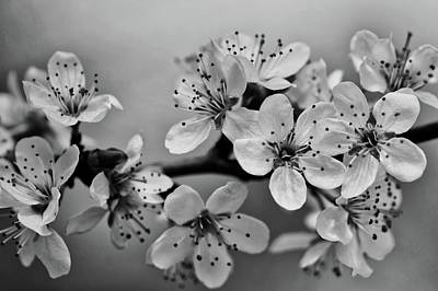 Photograph - Cherry Blossoms by Inspired Images