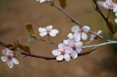Art Print featuring the photograph Cherry Blossoms by Linda Geiger