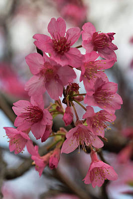 Photograph - Cherry Blossoms by Pamela Walton