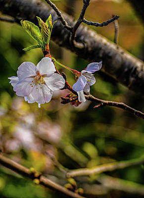 Digital Art - Cherry Tree Blossoms by Elijah Knight