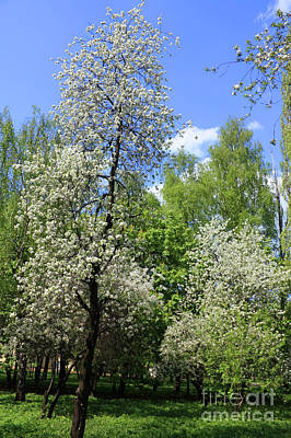 Garden Photograph - Cherry Trees In Blossom by Irina Afonskaya