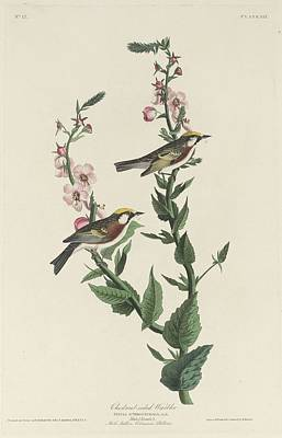 Wings Drawing - Chestnut-sided Warbler by Dreyer Wildlife Print Collections