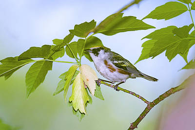 Photograph - Chestnut Sided Warbler - Magee Marsh, Ohio by Jack R Perry