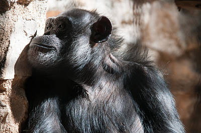 Travel Rights Managed Images - Chimps Royalty-Free Image by Carol Ailles