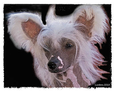 Purebred Digital Art - Chinese Crested by Larry Linton