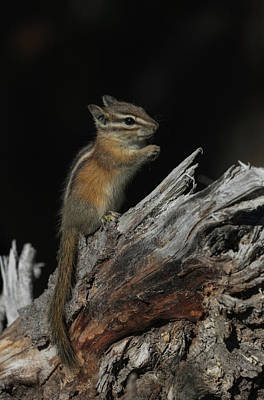 Photograph - Chipmunk by Angie Vogel