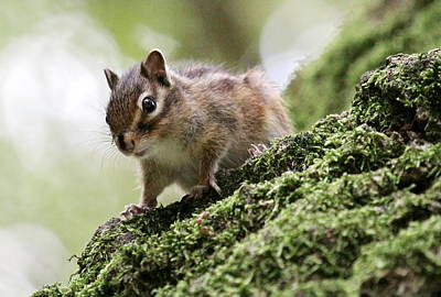 Photograph - Chipmunk On A Tree by Elenarts - Elena Duvernay photo