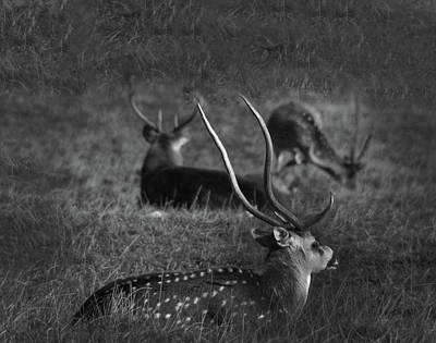 Photograph - Chital Deer - Knowsley Safari Park In England by Doc Braham