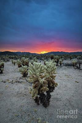Chris Walter Rock N Roll - Cholla Cactus Garden Sunset by Michael Ver Sprill