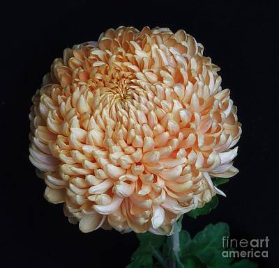 Photograph - Chrysanthemum 'apricot Alexis' by Ann Jacobson