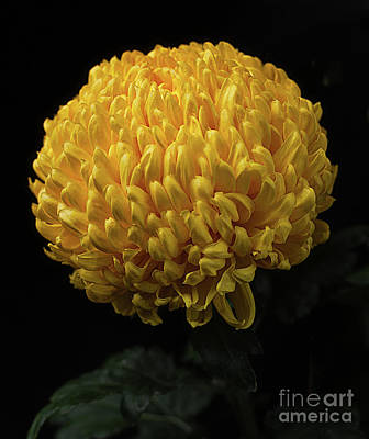 Photograph - chrysanthemum 'Derek Bircumshaw' by Ann Jacobson