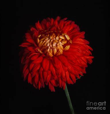 Photograph - Chrysanthemum 'indian Summer' by Ann Jacobson