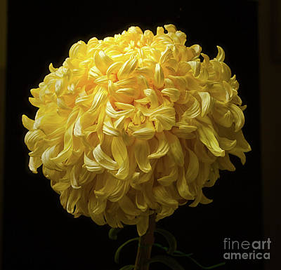 Photograph - Chrysanthemum 'mckinley' by Ann Jacobson