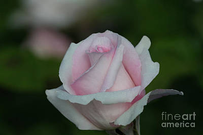 Photograph - Classic Touch Rose by Glenn Franco Simmons