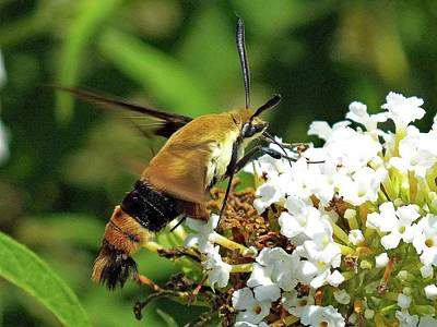 Giuseppe Cristiano - Snowberry Clearwing - Maco by Cindy Treger