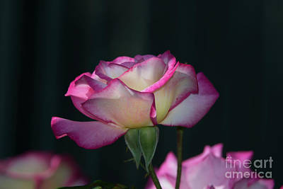 Photograph - Climbing Rose by Glenn Franco Simmons