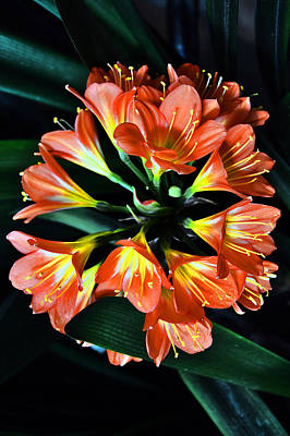 Clivia Miniata. Orange Flowered Form. Original by Andy Za
