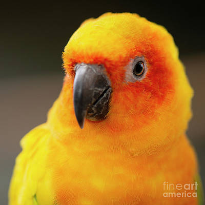 Photograph - Close Up Of A Sun Conure Parrot. by Rob D
