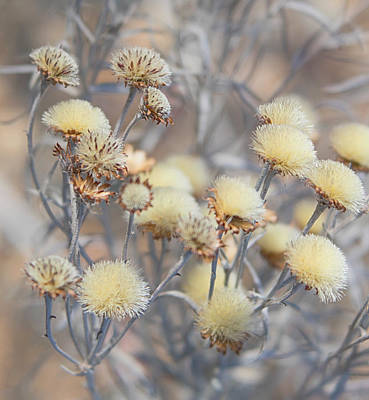 Photograph - Close Up Of Dried White Flower Blossoms On A Winter Day by Barbara Rogers