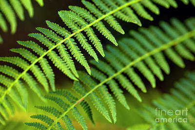 Photograph - Close-up Of Ferns by Jim Corwin