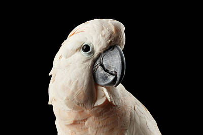 Cute Bird Photograph - Closeup Head Of Beautiful Moluccan Cockatoo, Pink Salmon-crested Parrot Isolated On Black Background by Sergey Taran