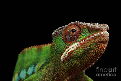 Reptile Photograph - Closeup Head Of Panther Chameleon, Reptile In Profile View Isolated On Black Background by Sergey Taran
