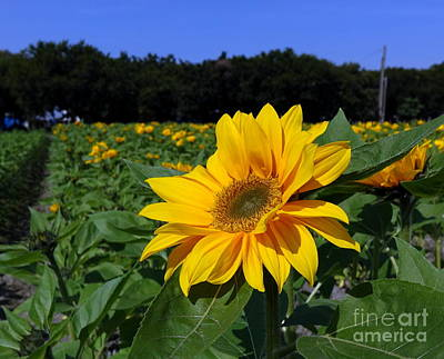Photograph - Closeup Of A Radiant Sunflower by Yali Shi