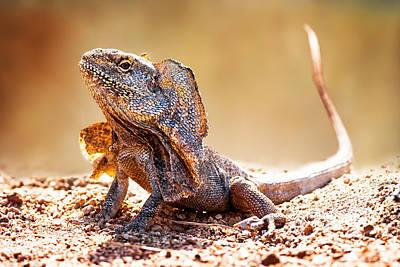 Closeup Of Alert Frilled Neck Lizard Art Print by Susan Schmitz