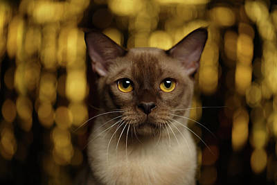 Closeup Portrait Burmese Cat On Happy New Year Background Print by Sergey Taran