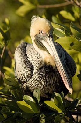 Closeup Portrait Of A Brown Pelican Art Print by Tim Laman