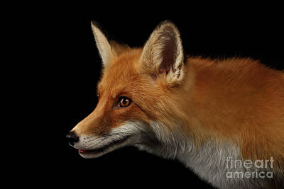 Fox Hunting Photograph - Closeup Portrait Of Red Fox In Profile Isolated On Black  by Sergey Taran