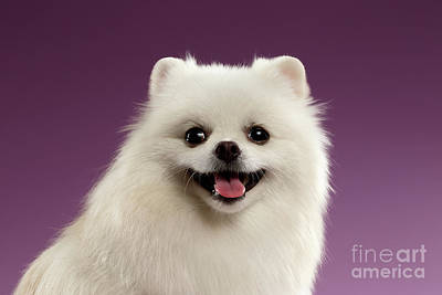Closeup Portrait Of White Spitz Dog On Colored Background Print by Sergey Taran