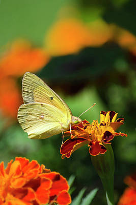 Photograph - Clouded Sulphur Butterfly by Christina Rollo