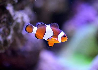 Clown Fish Photograph - Clown Fish by FL collection